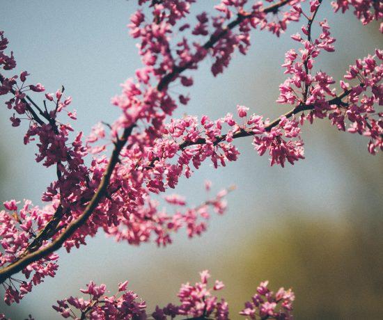 Zweige mit rosa Blüten vor verschwommenem Hintergrund